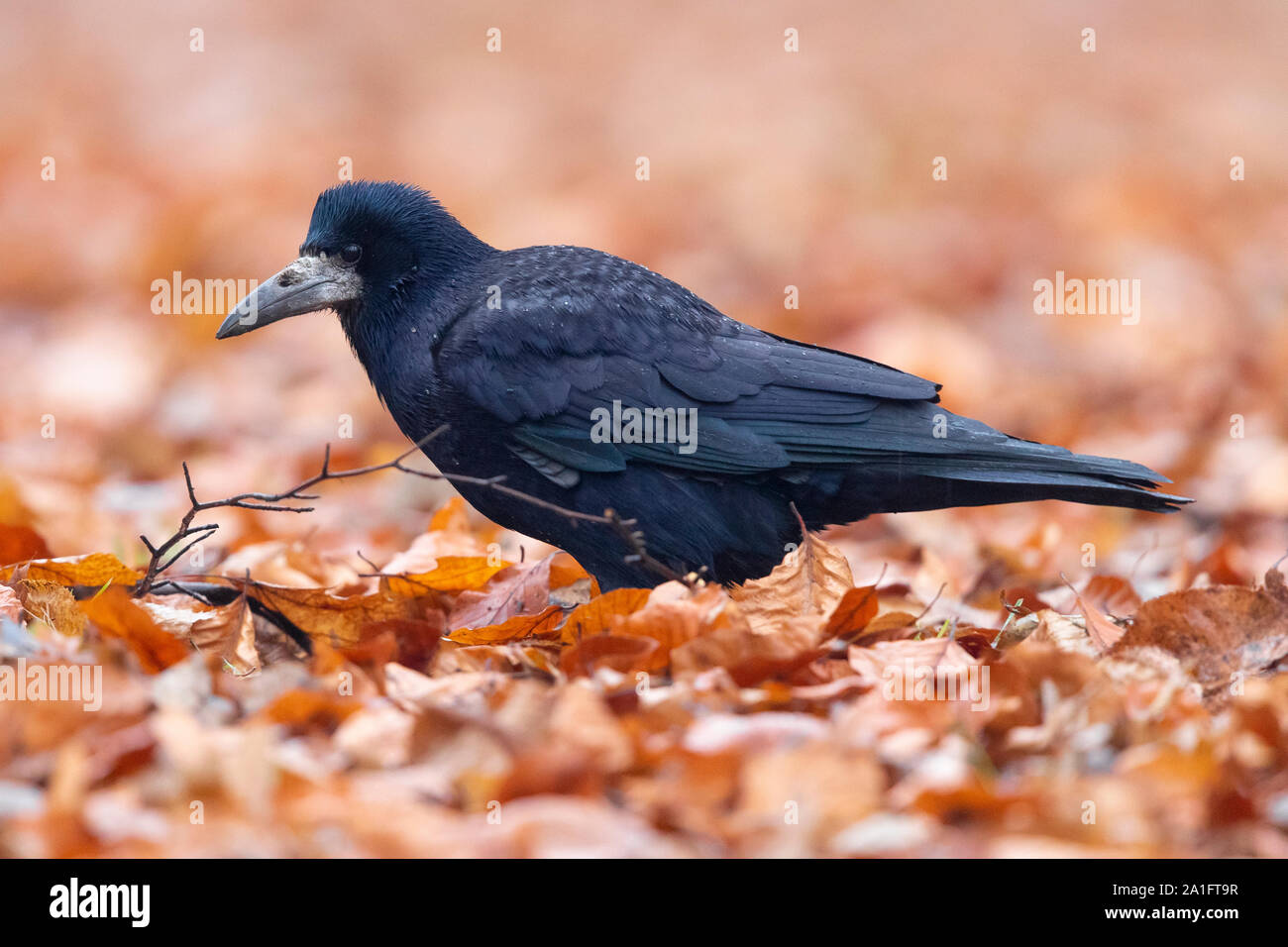 Rook (Corvus frugileus), side view of an adult standing among autumn leaves, Warsaw, Poland Stock Photo