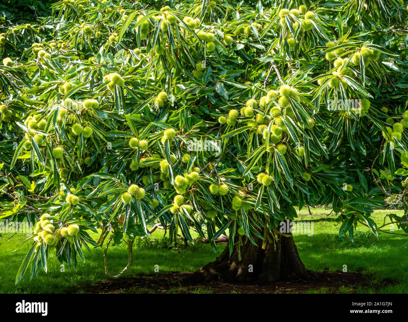 Sweet chestnut Castanea sativa tree in a parkland setting bearing a heavy crop of spiky cupules - Somerset UK Stock Photo