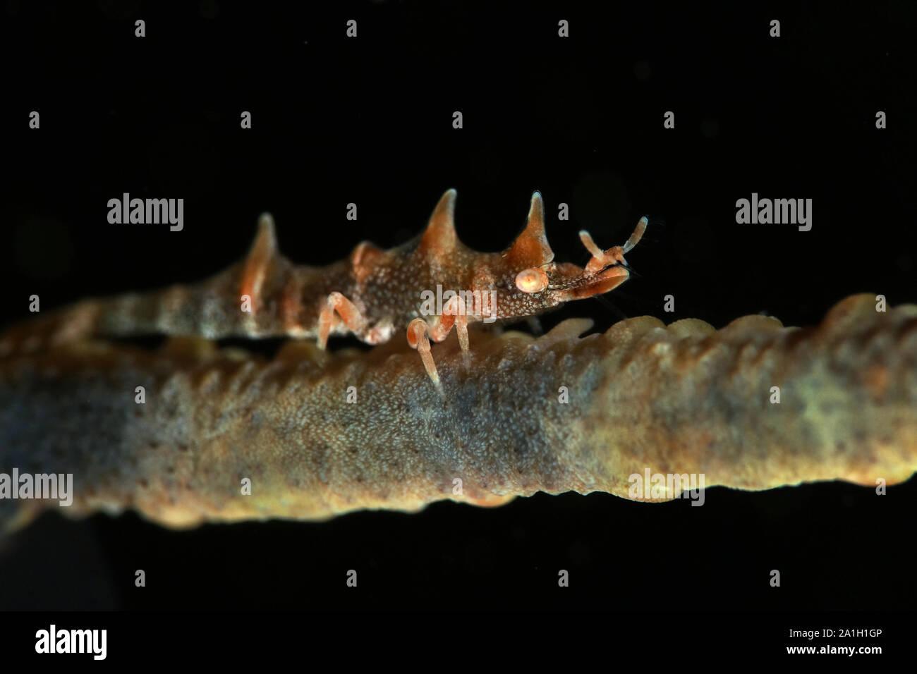 Dragon shrimp (Miropandalus hardingi). Picture was taken in Ambon, Indonesia Stock Photo