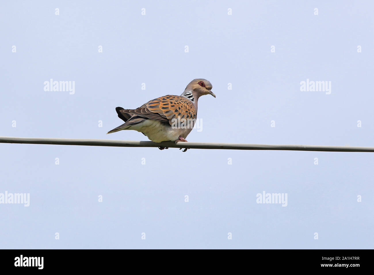 Turtle dove Latin streptopelia turtur not a collared dove or mourning dove vulnerable status due to hunting perched on a wire in spring in Italy Stock Photo
