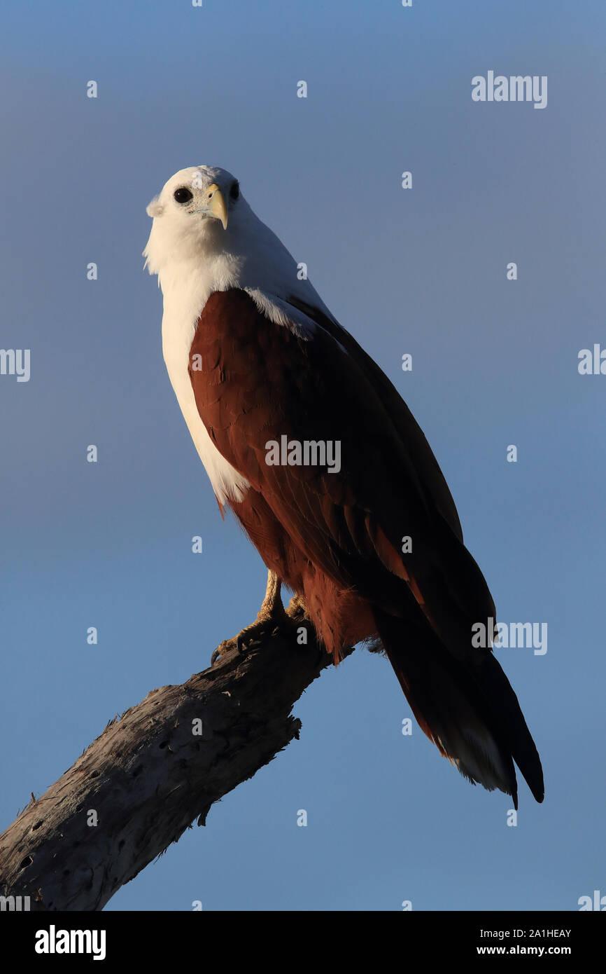 Brahminy Kite Haliastur Indus Queensland Australia Stock Photo Alamy
