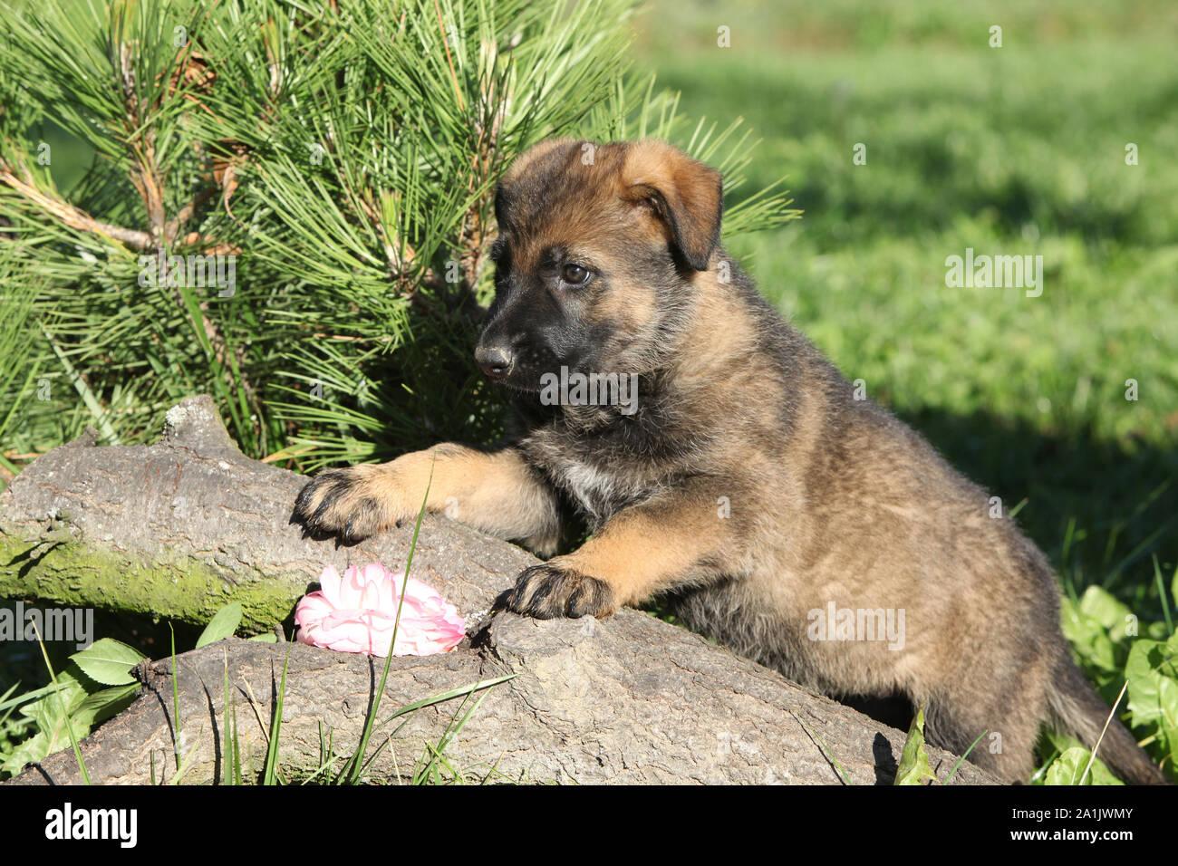 Adorable Brown German Shepherd Puppy In The Garden Stock Photo Alamy