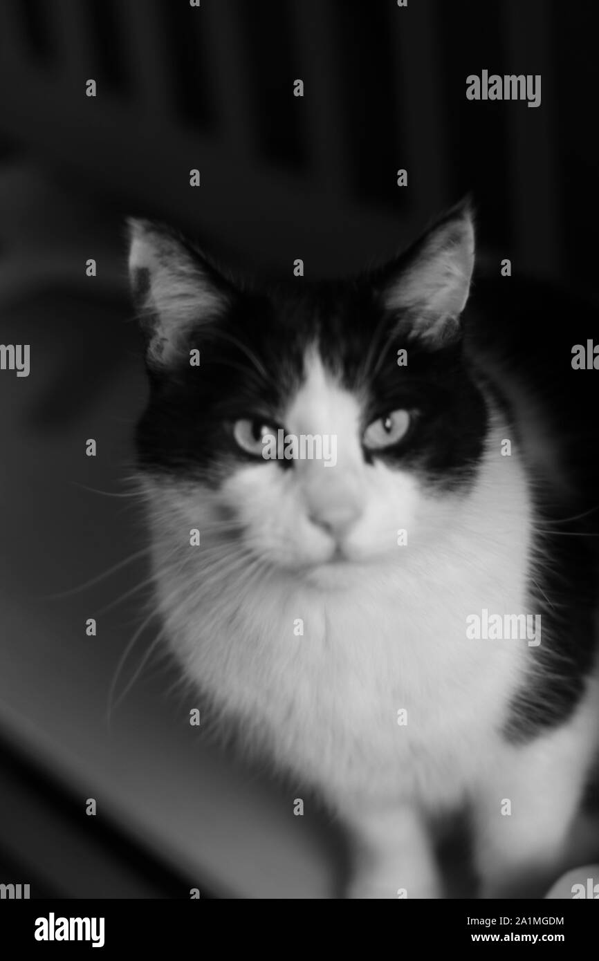 Black and white photos of cat. Stock Photo