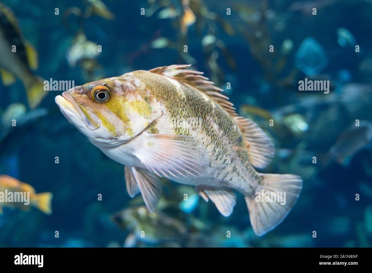 Copper Rockfish (Sebastes Caurinus), Fish, Ripely's Aquarium of Canada Stock Photo