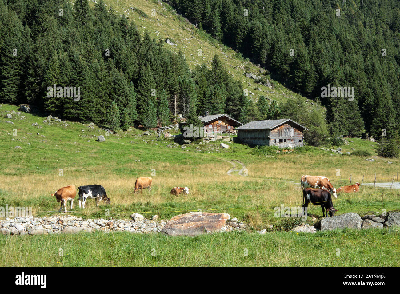 Grazing cows and wooden alm. Krimmler Achental valley. Hohe Tauern National Park. Austrian Alps. Stock Photo
