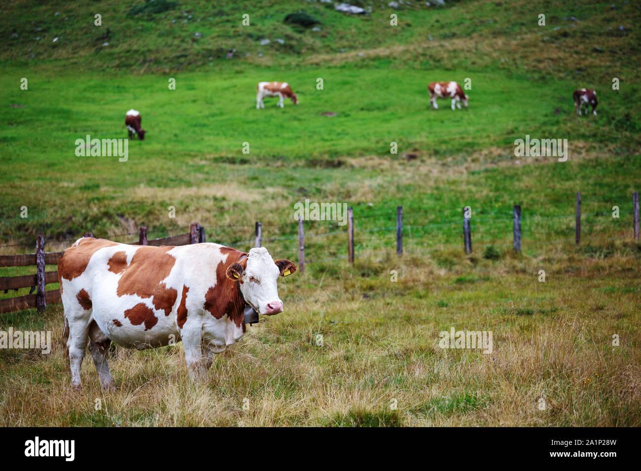 Grazing cows. Krimmler Achen valley. Hohe Tauern National Park. Austrian Alps. Stock Photo