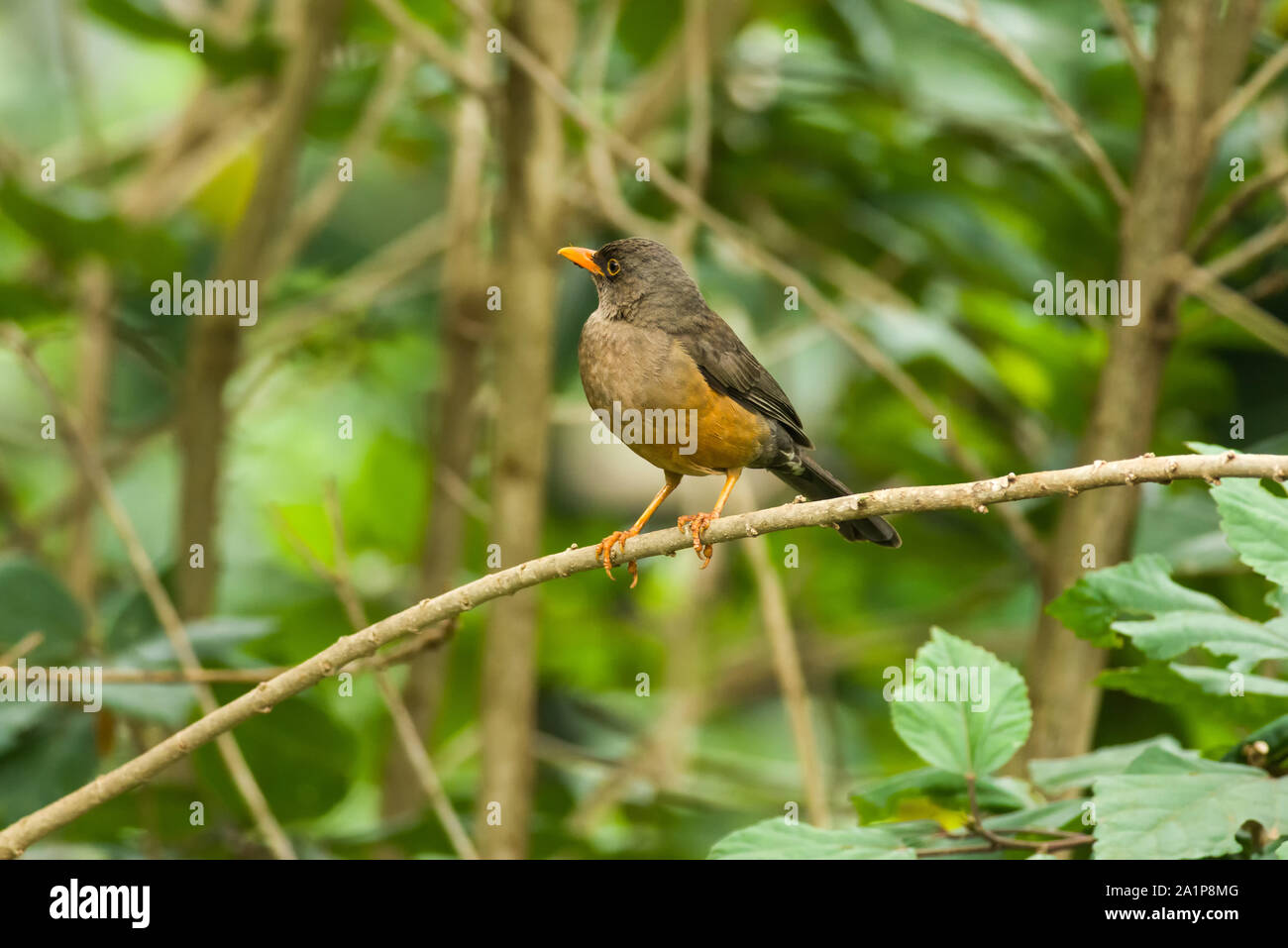 Olive Thrush (Turdus olivaceus) on branch, Kenya Stock Photo