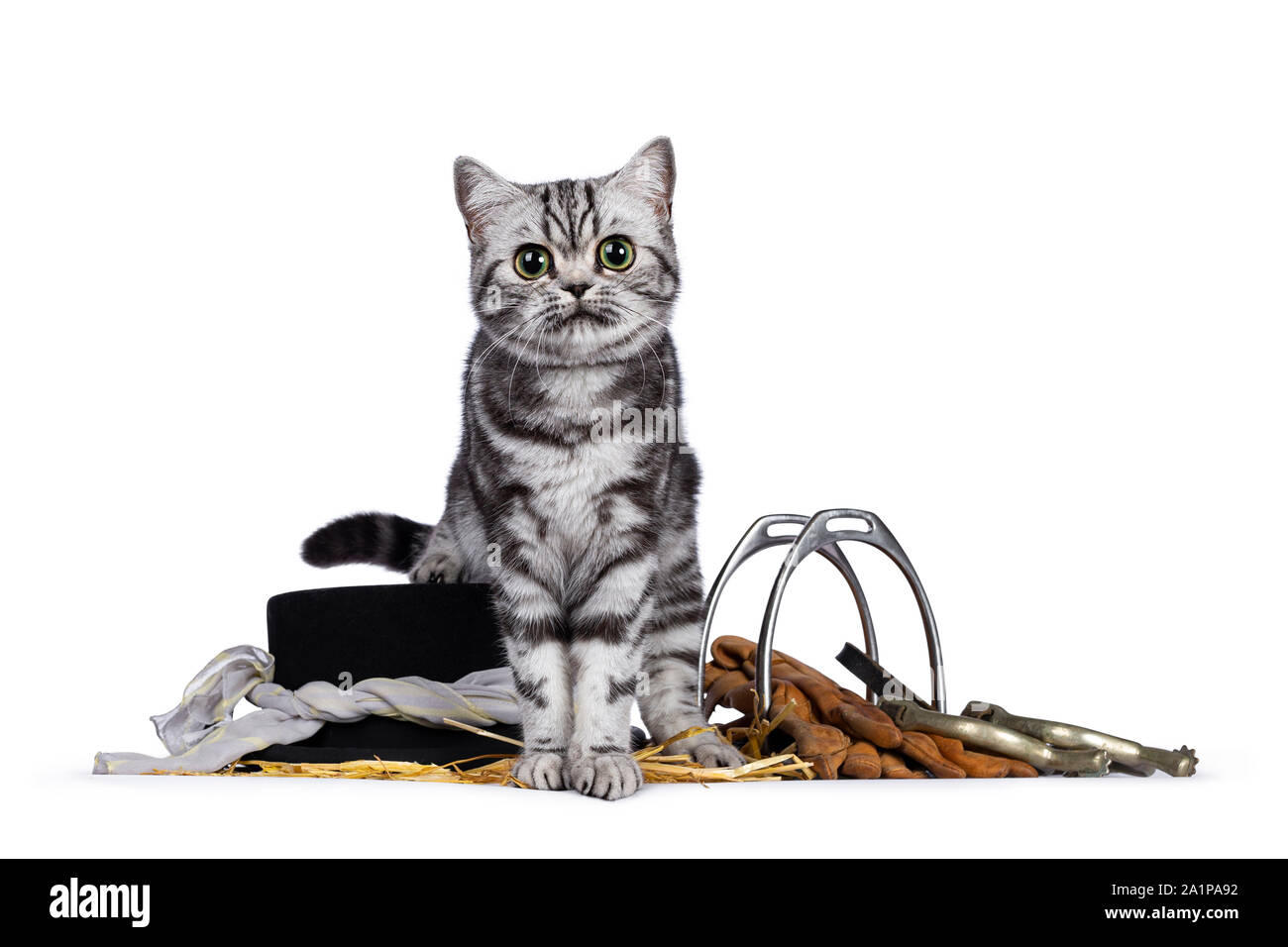 Cute Silver Tabby Blotched British Shorthair Kitten Sitting Facing Front On Horse Riding Gear Looking Straight At Camera Isolated On White Backgroun Stock Photo Alamy