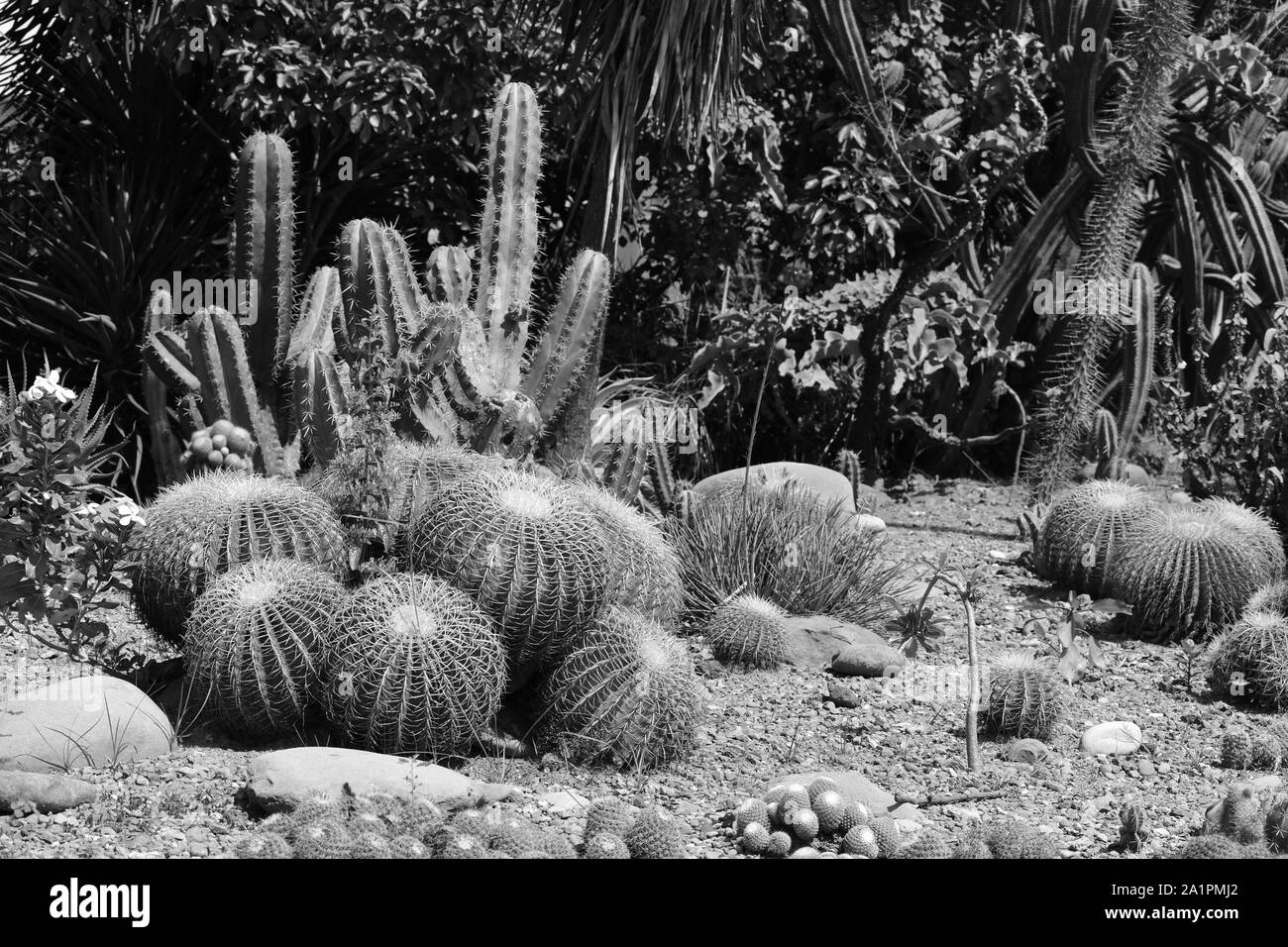 Golden barrel cacti and hedge cactus in monochrome. Stock Photo