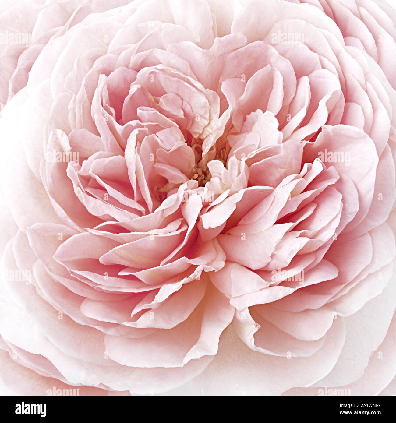 Pinc Rose Floral Background Stock Photo 328177537 Alamy
