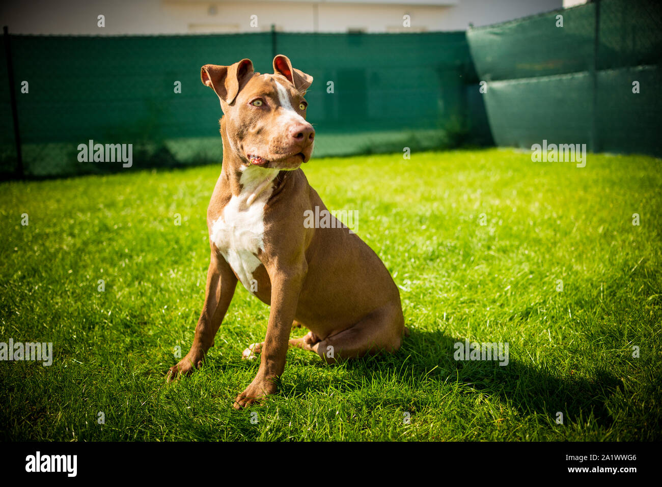 Young pitbull Staffordshire Bull Terrier in garden sits on grass with floppy ears background Stock Photo