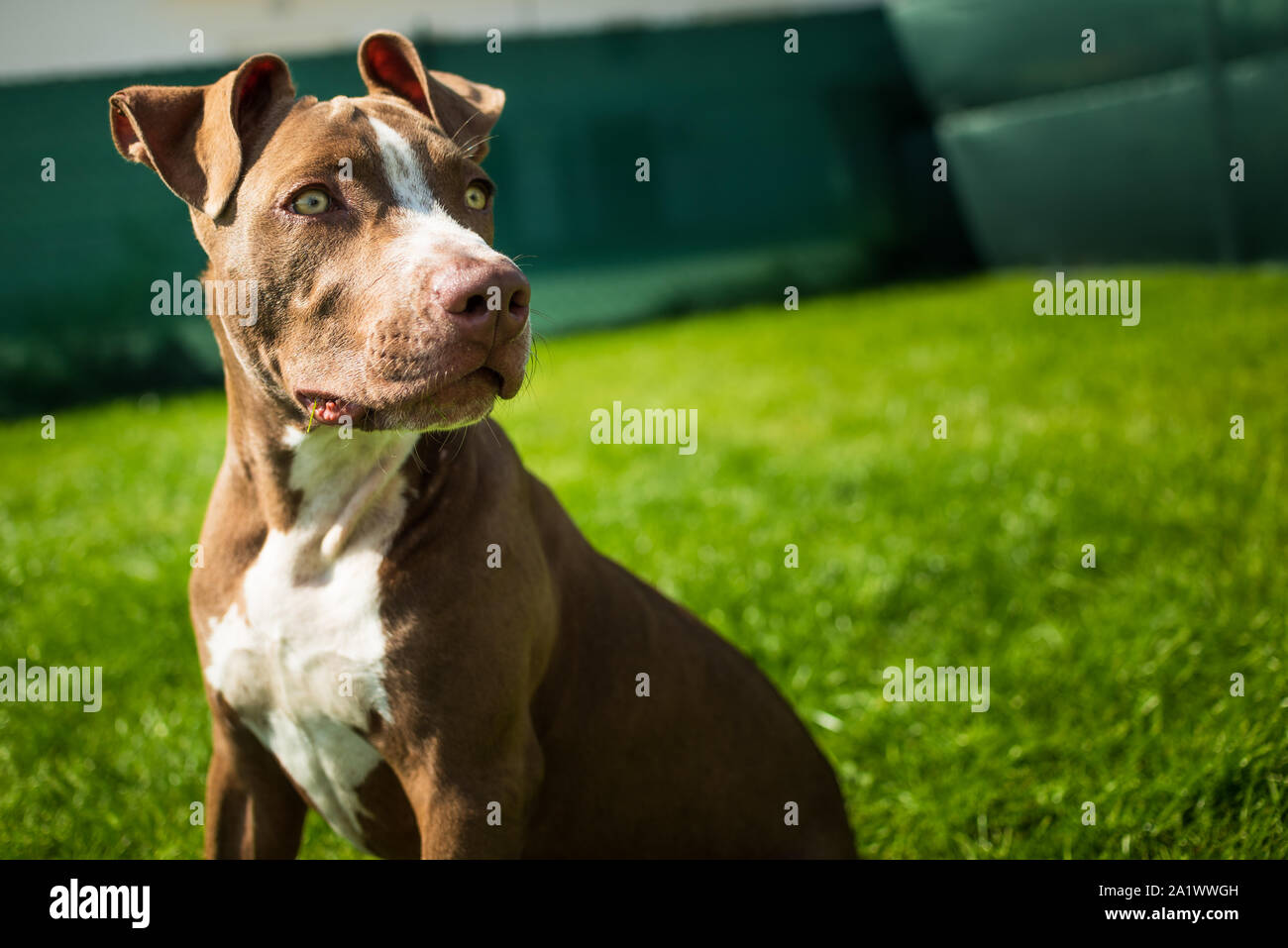 Young American Staffordshire terrier Amstaff having fun running in a garden Stock Photo