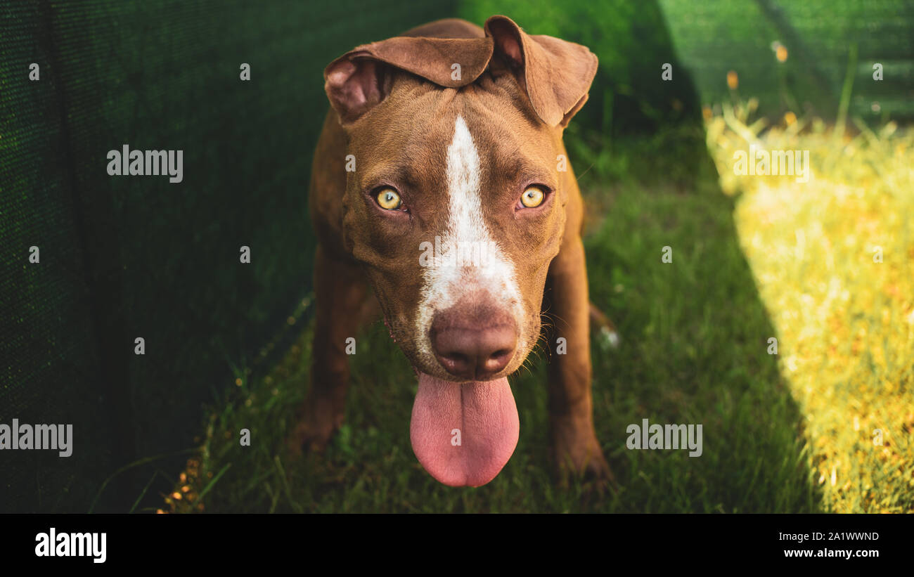 Young pitbull Staffordshire Bull Terrier in garden looks towards camera with tongue out portrait Stock Photo