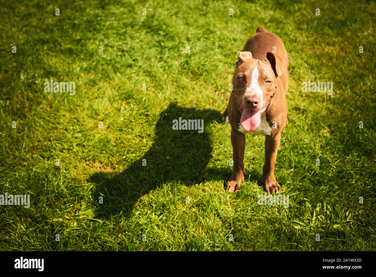 Young American Staffordshire pitbull dog outdoors in summer day Stock Photo