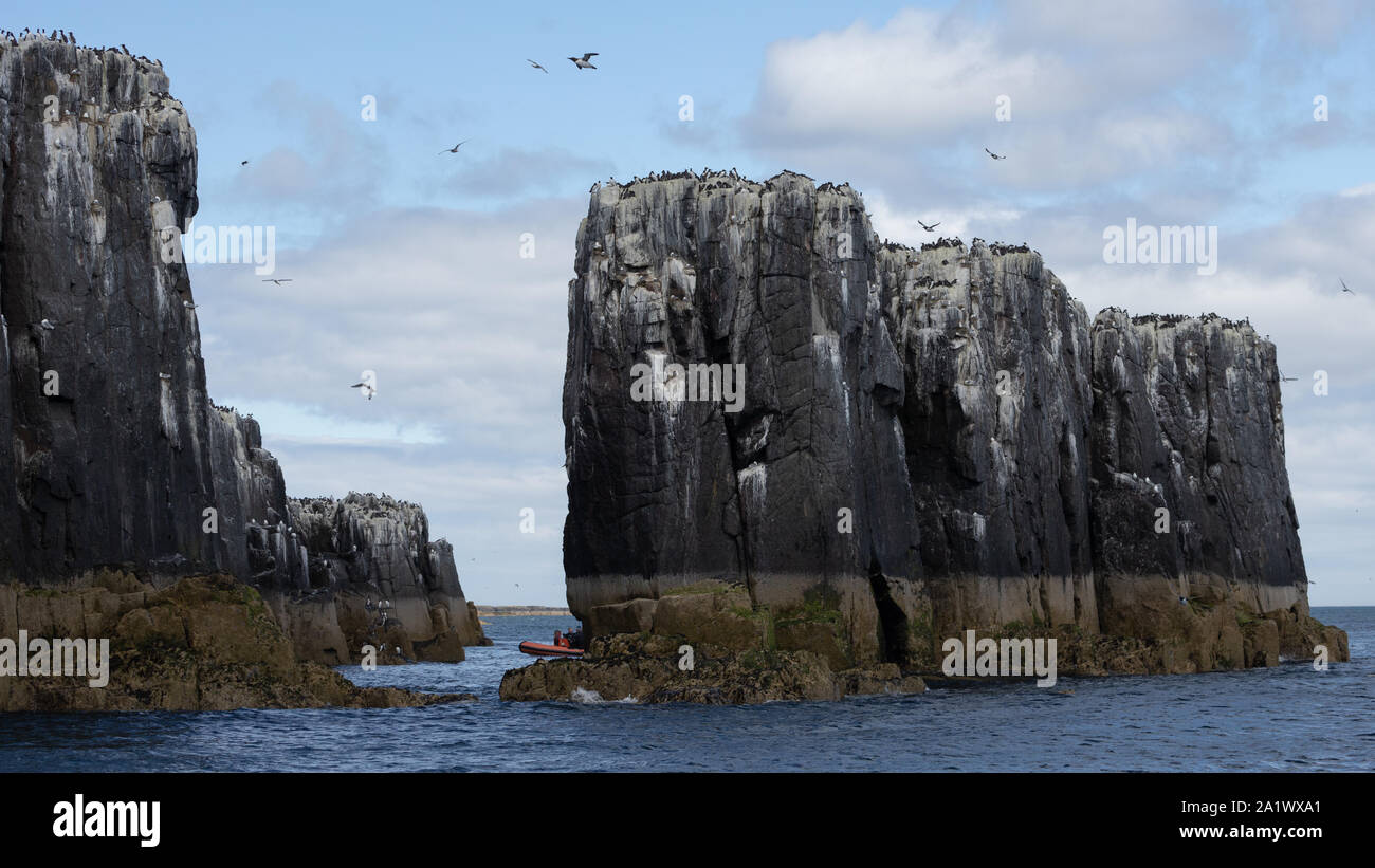 Birds on the cliffs of the Farne Islands, UK Stock Photo
