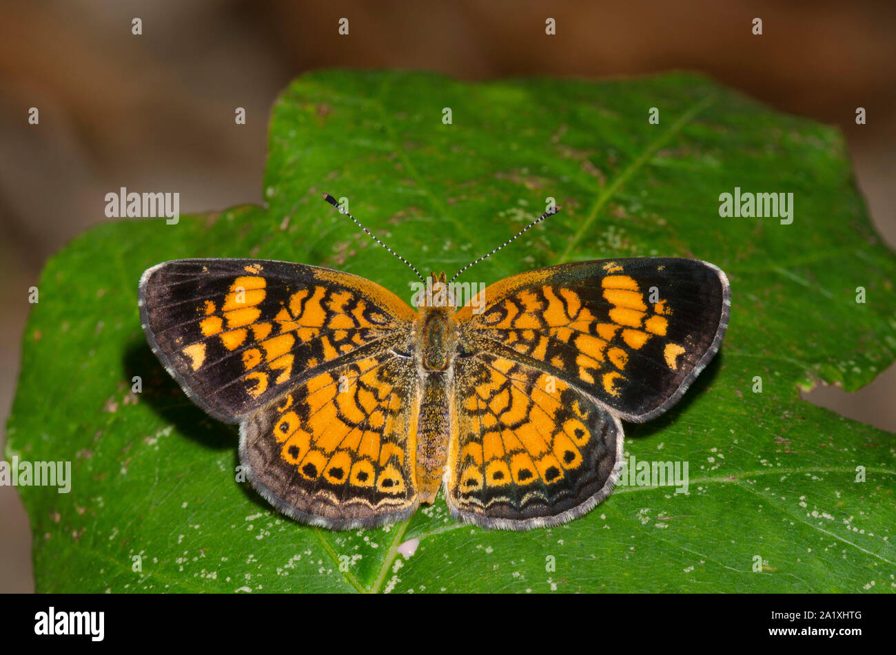Pearl Crescent, Phyciodes tharos Stock Photo