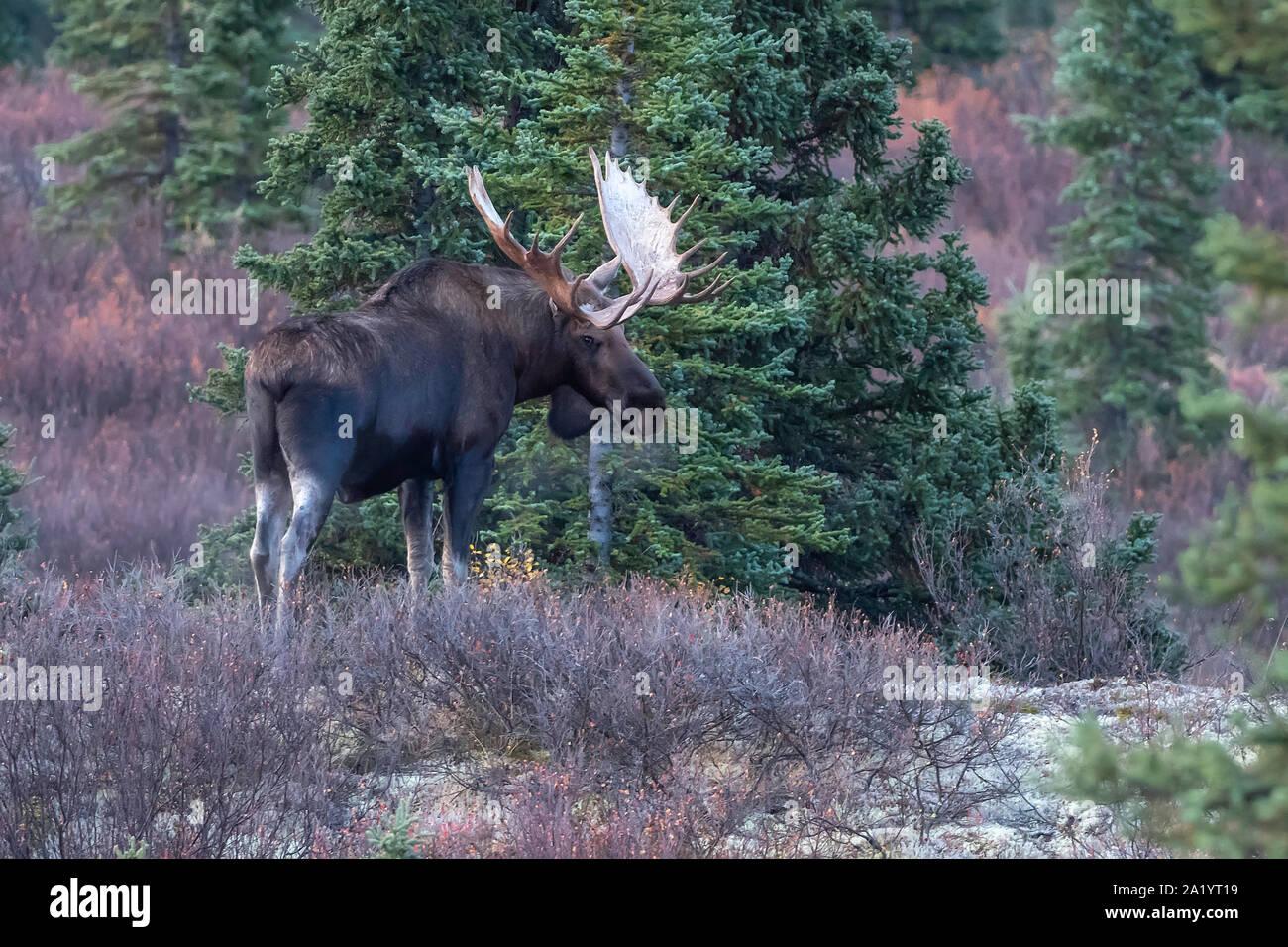 Bull Moose in Denali National Park, Alaska Stock Photo