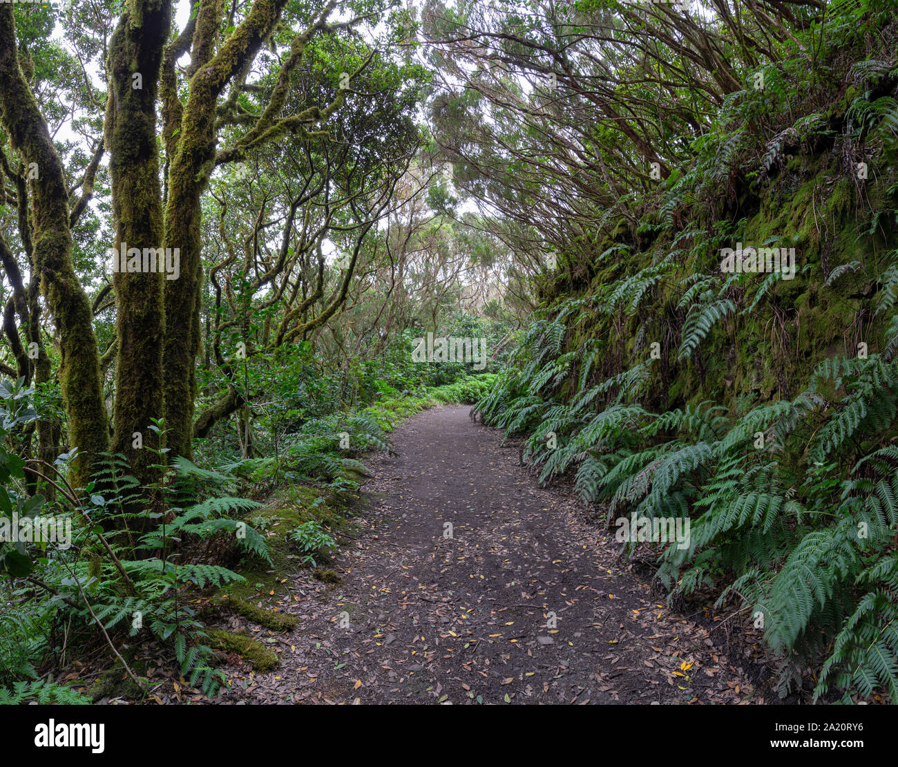 Hiking trail in the laurel forest of the Anaga Mountains in Tenerife Stock Photo
