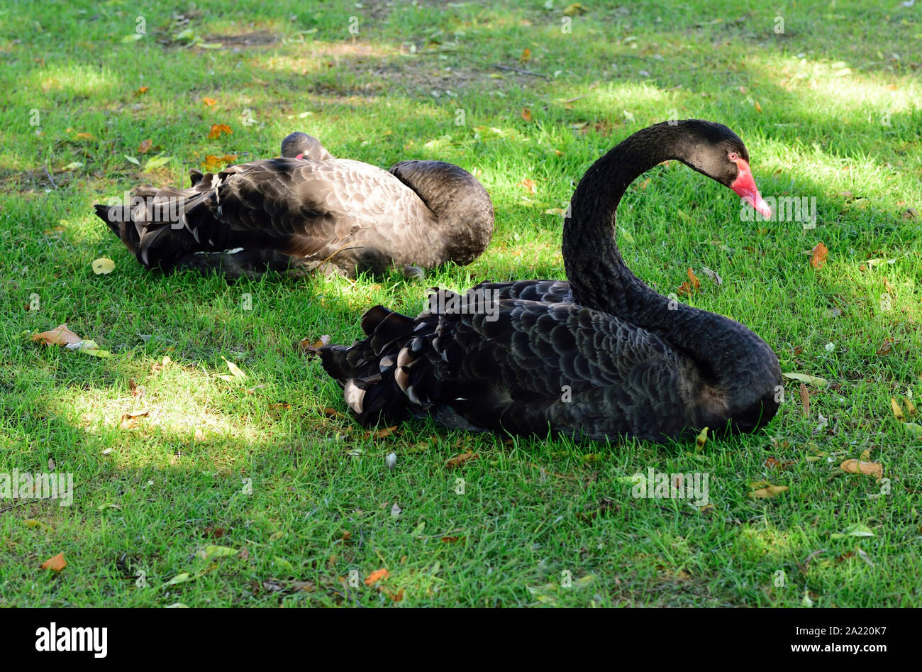 A pair of black swans on the riverbank in Dawlish. Stock Photo
