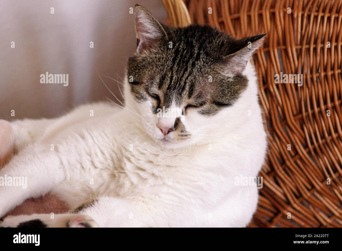 Portrait of lovely cat at home. View close up of cute beautiful domestic cat lying, rests, enjoys and sleeps in living room of house. Domestic animal. Stock Photo