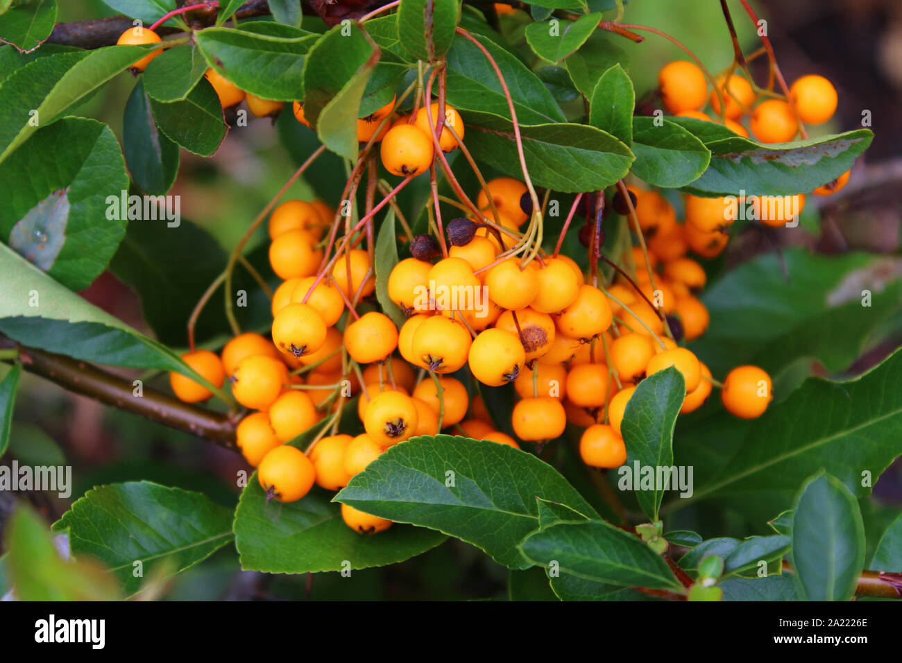 Pyracantha coccinea - Kelham Island Museum, Sheffield, South Yorkshire Stock Photo