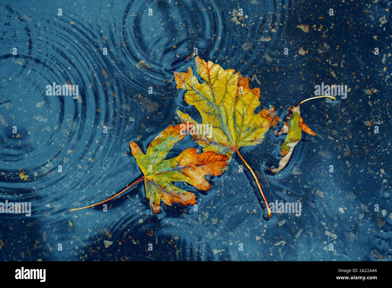 Beautiful old withered torn yellow autumn maple leaves in puddle on ground under rain. Fall weather season. Concept of death, despair and sad Stock Photo