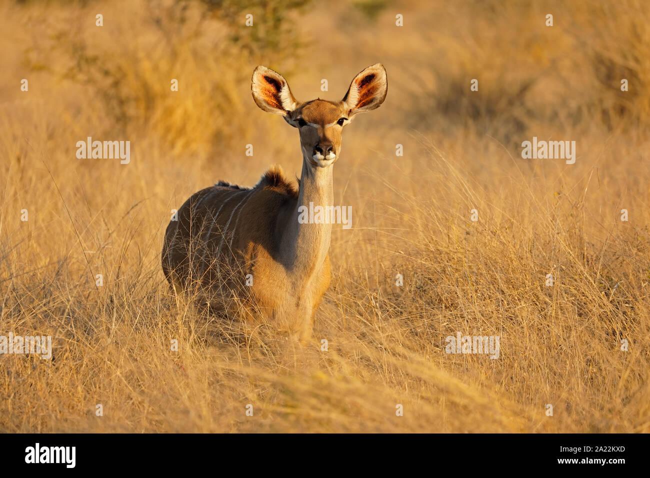 Female kudu antelope (Tragelaphus strepsiceros), Kruger National Park, South Africa Stock Photo