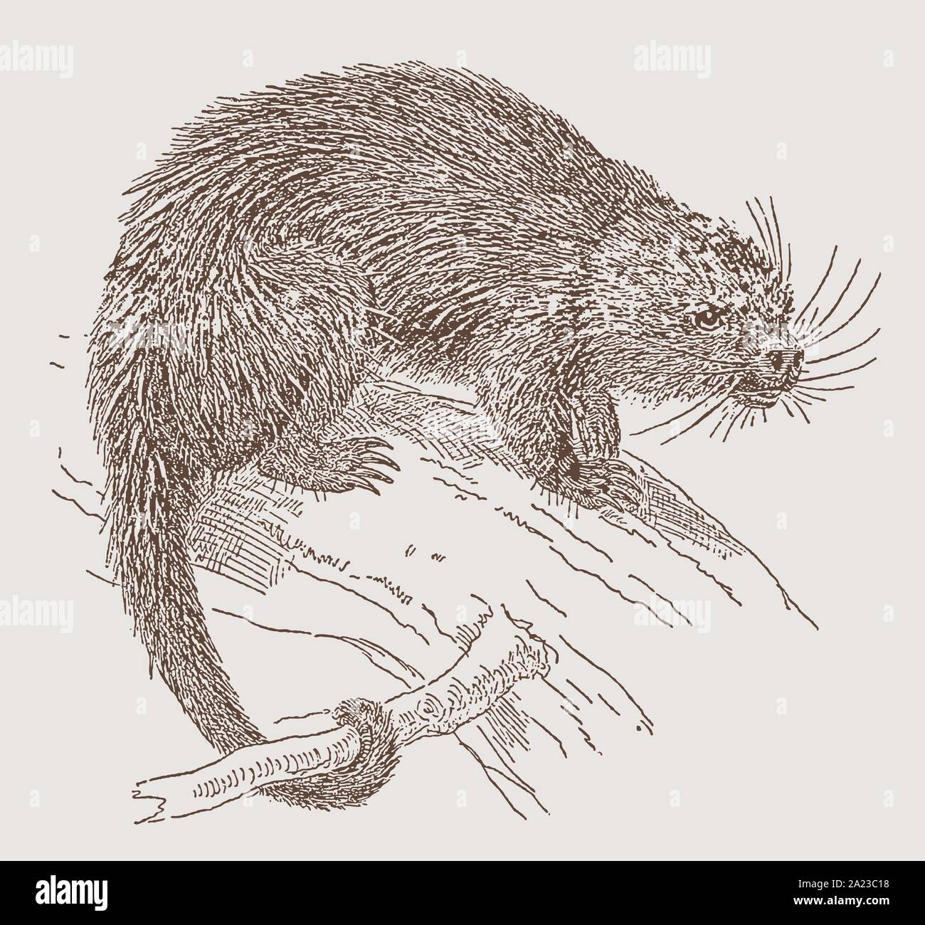 Bicolored-spined porcupine (coendou bicolor) sitting on a branch. Illustration after an engraving from the 19th century Stock Vector