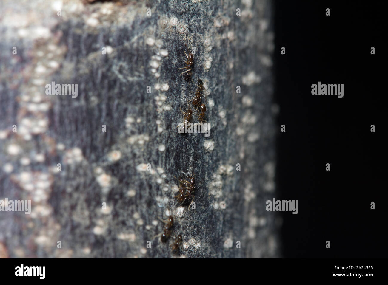 black ants crawling on tree trunk in the dark Stock Photo