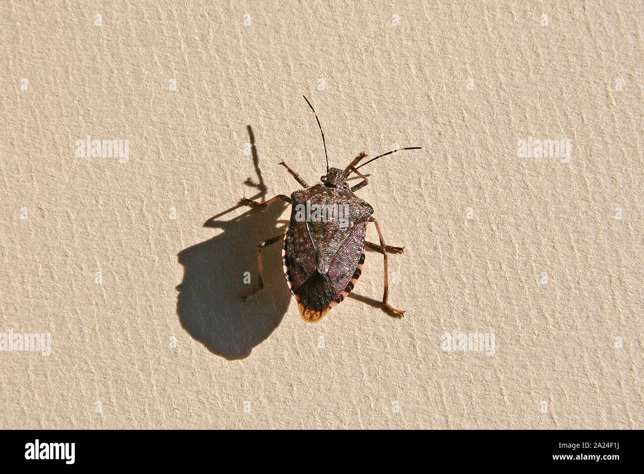 brown marmorated stink bug or shield bug Latin halyomorpha halys family pentatomidae native to China and Asia now a serious pest in Europe and the USA Stock Photo