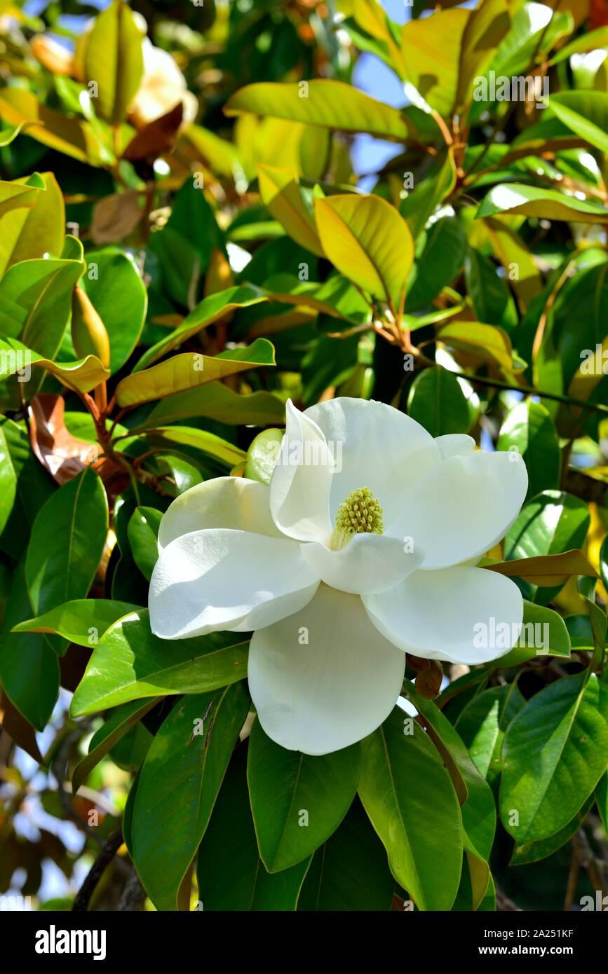 Southern Magnolia Tree Achilleion Palace Gastouri Corfu Island Ionian Islands Greece Stock Photo Alamy
