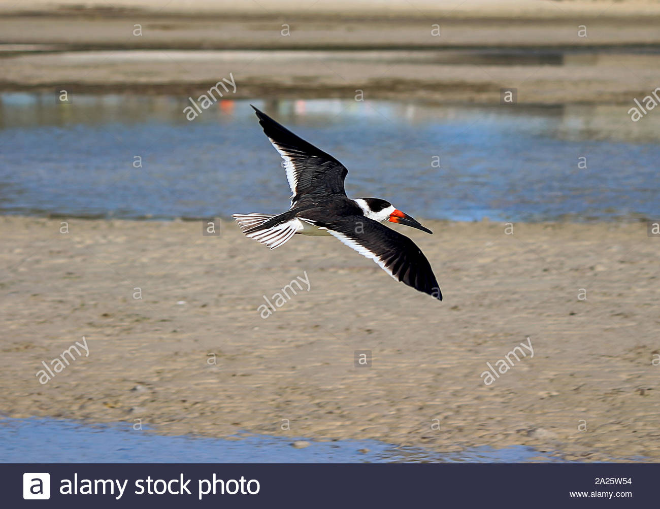 Black skimmer (Rynchops niger) in flight over Tampa Bay, east of Florida, USA Stock Photo