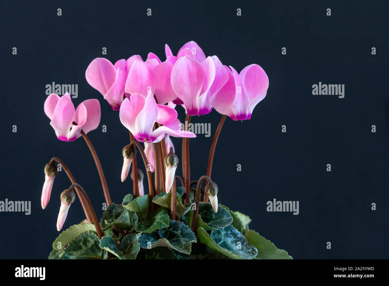 A potted pink Cyclamen against a dark background Stock Photo