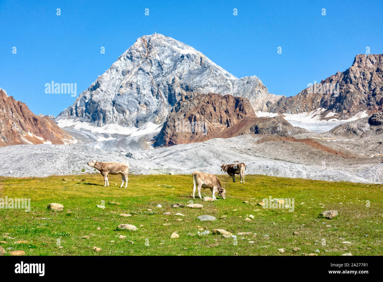 Famous Ortler mountain with a rock called Koenigsspitze at South Tyrol, Italy. Cows grazing in the foreground. Stock Photo