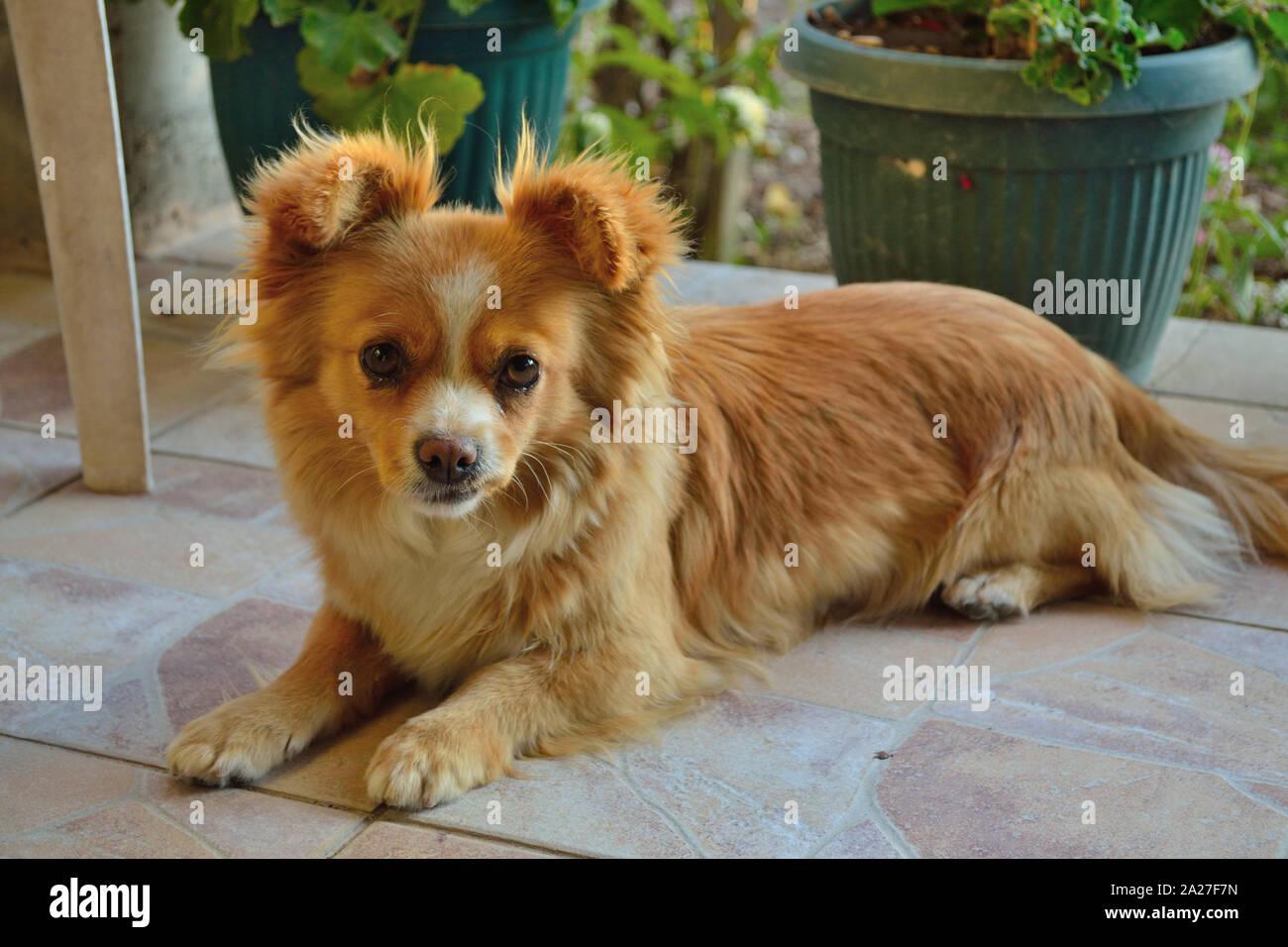 Pekingese mixed breed dog, Canis lupus familiaris Stock Photo