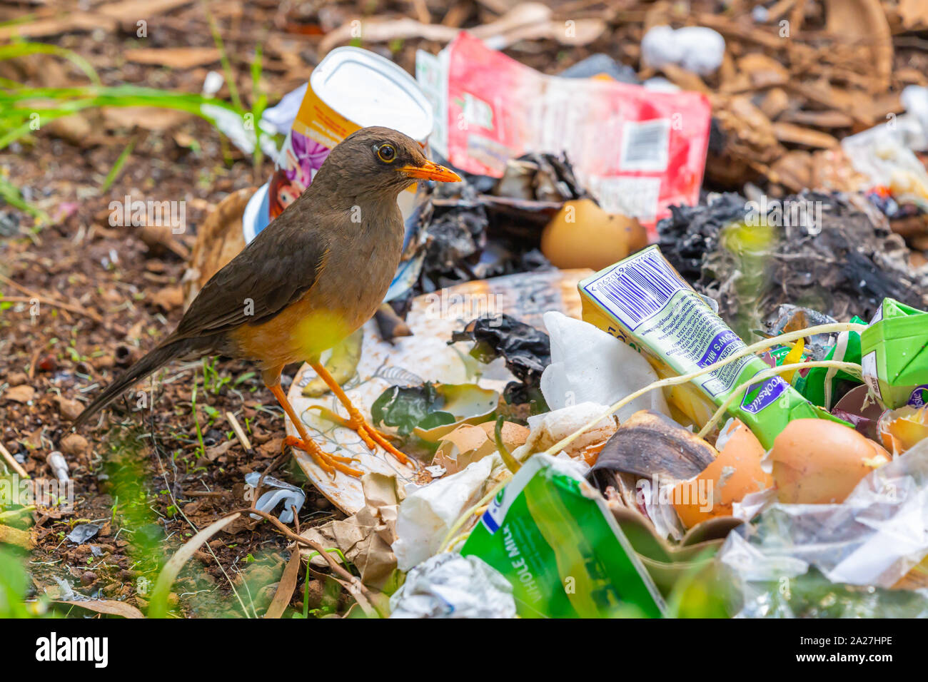 Colour photograph of the olive thrush (Turdus olivaceus) bird foraging on ground through discarded rubbish. Stock Photo