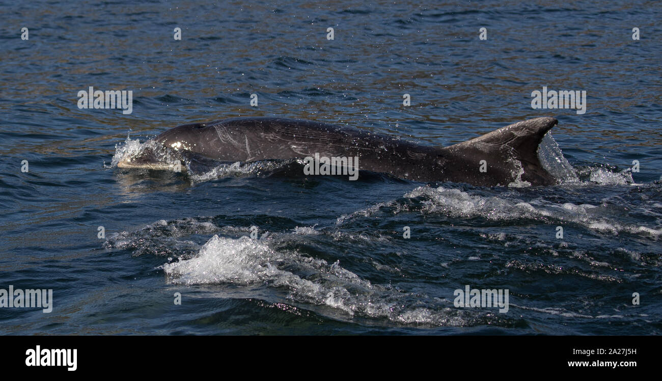 Bottlenose Dolphins | Cromarty & Moray Firth 21.09.2019 Stock Photo