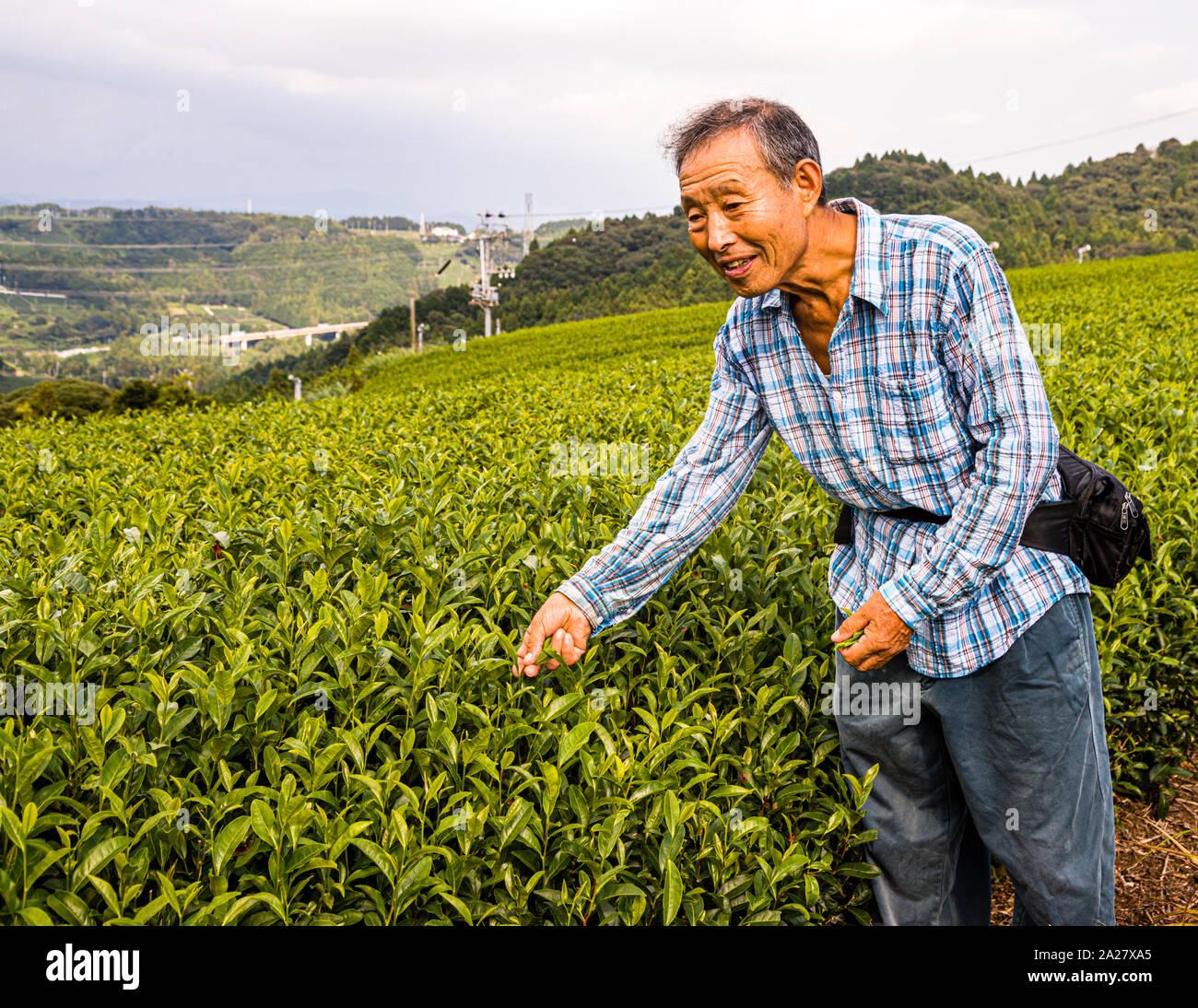 Tea Plantation in Kakegawa, Japan Stock Photo