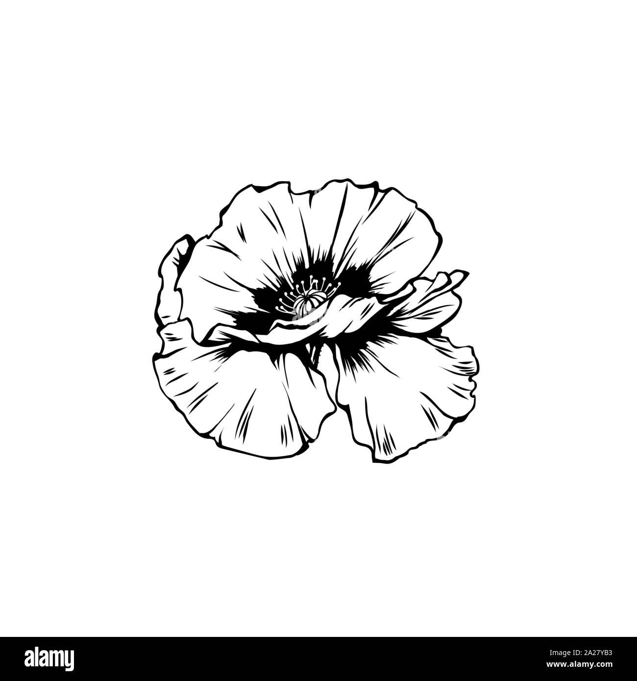 Poppy flower hand drawn vector illustration. Summer blooming honey ...