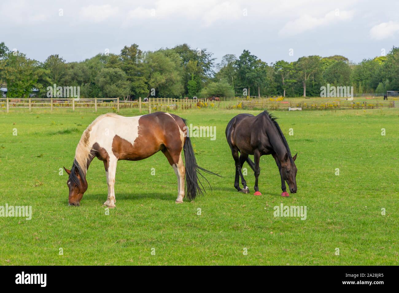 Horses grazing in a field seen from the Trans Pennine Trail, Gatewarth, Warrington Stock Photo