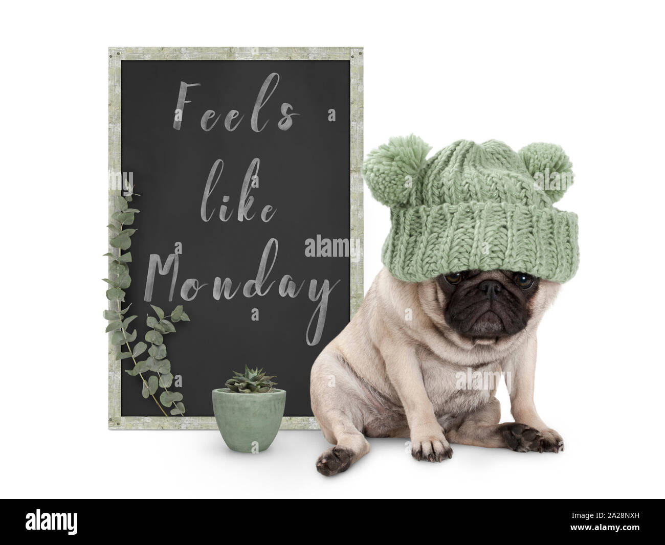 cute grumpy pug puppy dog with bad monday morning mood, sitting next to blackboard sign with text feels like monday, isolated on white background Stock Photo