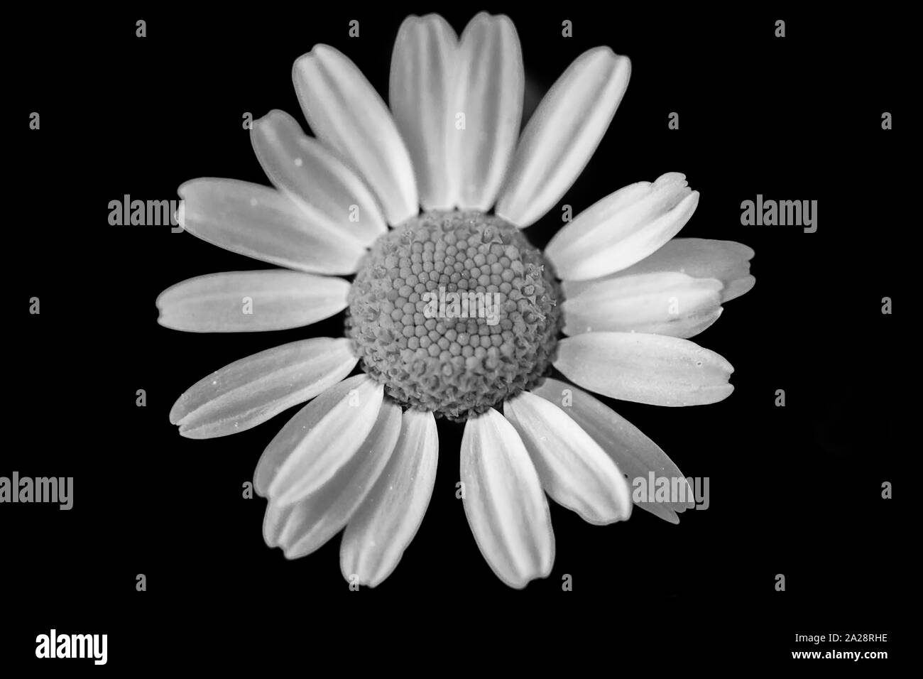 Macro photo of daisy. Black and white. White petals on a black background Stock Photo