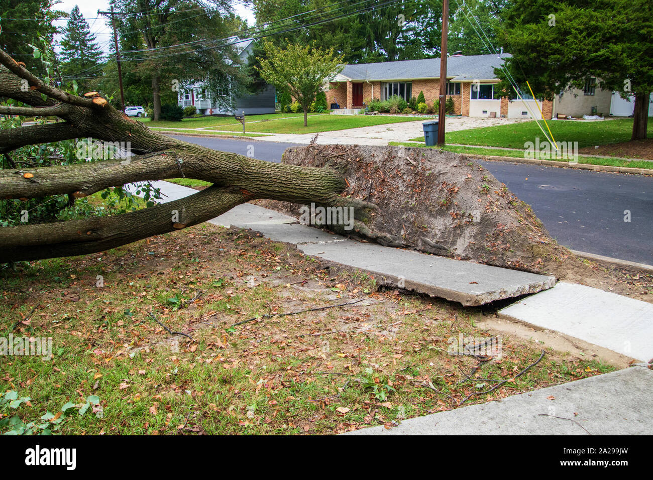 Large uprooted tree laying across the sidewalk and onto the lawn in a residential neighborhood. The concrete of the sidewalk is lifted and broken Stock Photo