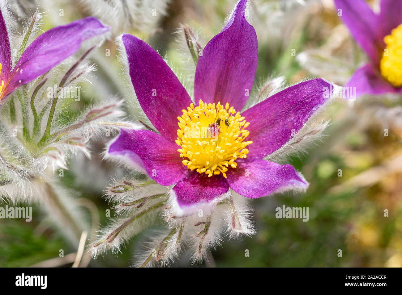 Pulsatilla vulgaris (pasque flower, pasqueflower) is a species of flowering plant belonging to the buttercup family (Ranunculaceae), found locally on Stock Photo