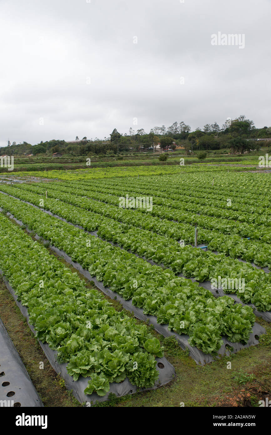 Lettuce fields near Mogi das Cruzes, where most of the vegetables produced by the inhabitants of Sao Paulo are produced, Brazil. Stock Photo