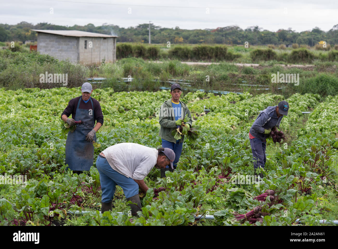 Workers harvest salads in Mogi das Cruzes, where most of the vegetables consumed by the inhabitants of Sao Paulo are grown, Brazil. Stock Photo