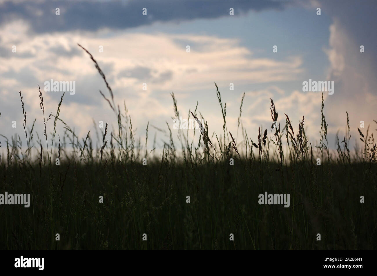 Surface level shot of Tall Fescue on a cloudy day. Stock Photo
