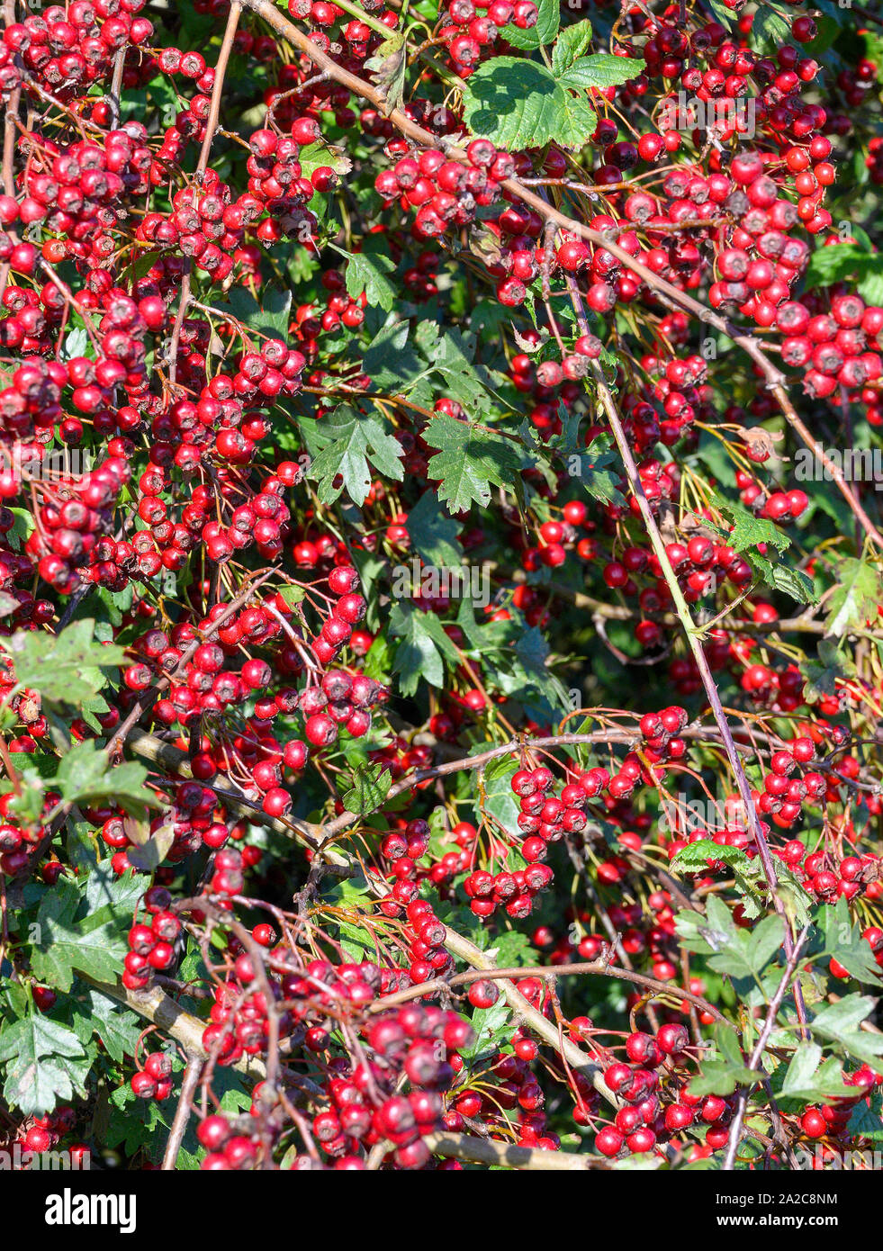 A Mass Of Bright Red Berries On A Hawthorn Bush The Hawthorn Is