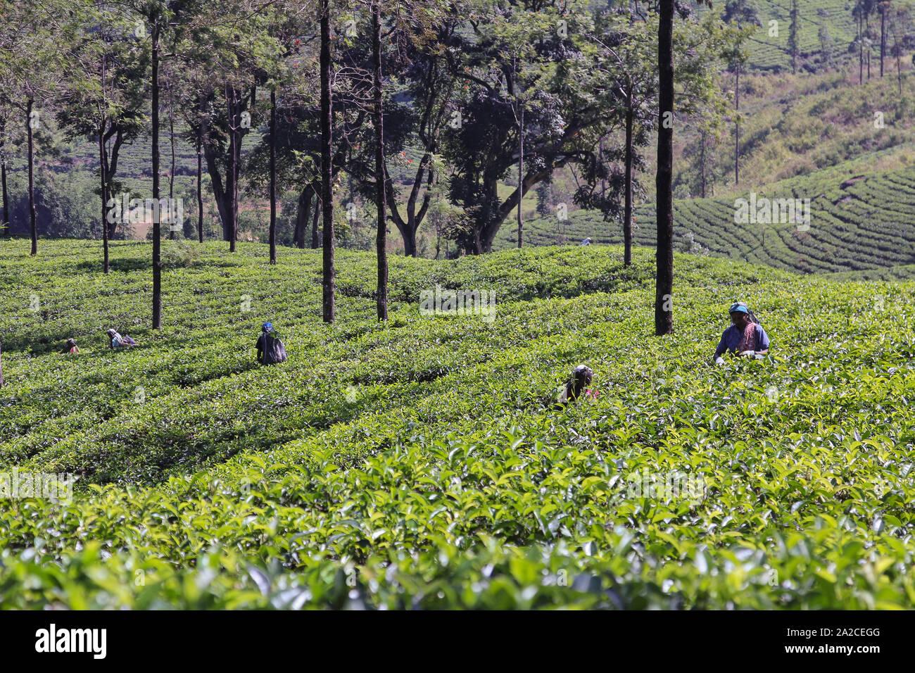 NUWARA ELIYA, SRI LANKA -04 JANUARY 2012: Tamil smiling woman from Sri Lanka breaks tea leaves on tea plantation with the traditional tea plucking met Stock Photo