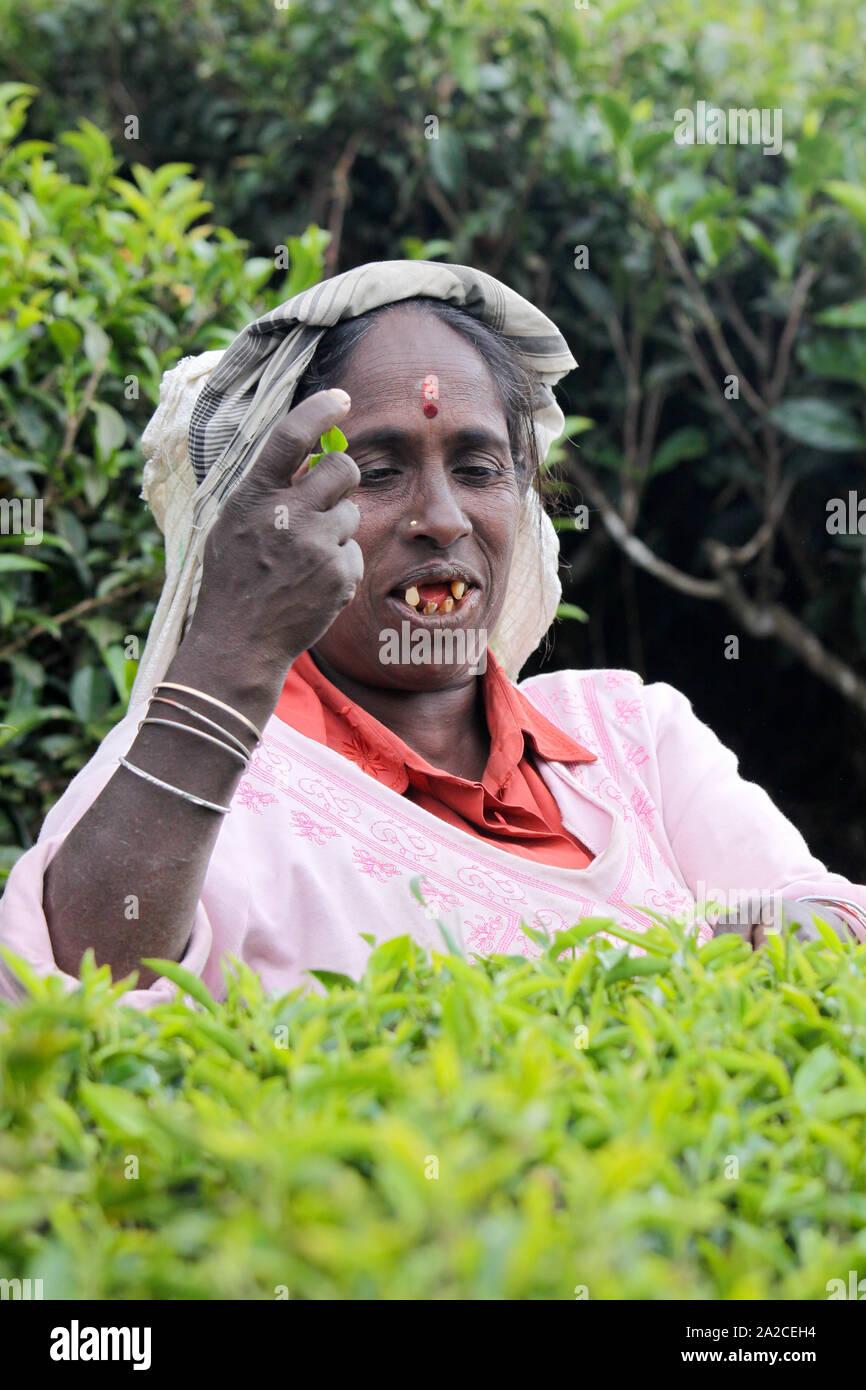NUWARA ELIYA, SRI LANKA -04 JANUARY 2012: Tamil woman from Sri Lanka breaks tea leaves on tea plantation with the traditional tea plucking method. Stock Photo